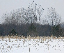 Crows gather in the trees around a corn field just outside of Watertown, preparing for their nightly flight into the city. Photo: Joanna Richards