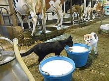 The Peck farm's barn cats are well fed; two of about 30 who live among the dairy cows lap up fresh, creamy milk by the bucketful. Photo: Joanna Richards