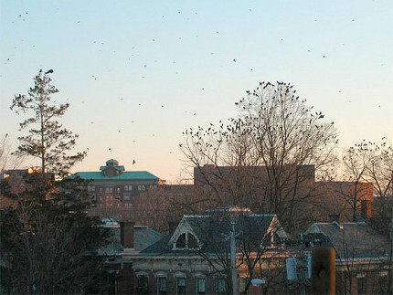 "Urban crow infestations plague a number of NY cities, including Albany. Photo: <a href=""http://www.flickr.com/photos/robinskyler/2252004704/"">Robin Tell</a>, Creative Commons, some rights reserved"