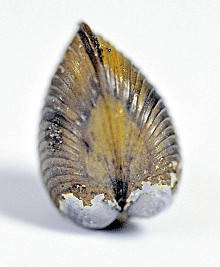 Asian clam. Photo: Emily DeBolt, Lake George Association via adirondackdailyenterprise.com