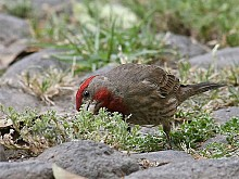 "House finches in Mexico City get fewer mite infestations in their nests, thanks to cigarette butts. Photo: <a href=""http://www.flickr.com/photos/98478281@N00/505396198/"">Pablo Leautaud</a>, Creative Commons, some rights reserved"
