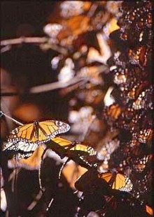 Butterflies that survive their cycle in the North Country journey to the mountains of Mexico to overwinter. Photo: Brian Mann, Susan Waters