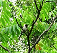 Many chickadees responded to the students' bird calls.  Photo: Julie Grant