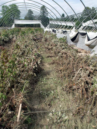 Ravaged crops at Rivermede Farm (Photo:  Brian Mann)
