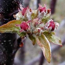 A frost-damaged apple blossom.