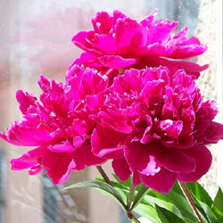 Common garden peony. Photo: Darwinek via Wikipedia Commons.