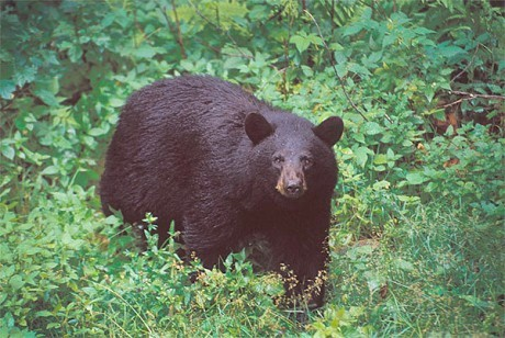 "Adirondack black bear. Photo: <a href=""http://www.flickr.com/photos/thewildcenter/"">The Wild Center</a>, CC <a href=""http://creativecommons.org/licenses/by-nc/2.0/"">some rights reserved</a>"
