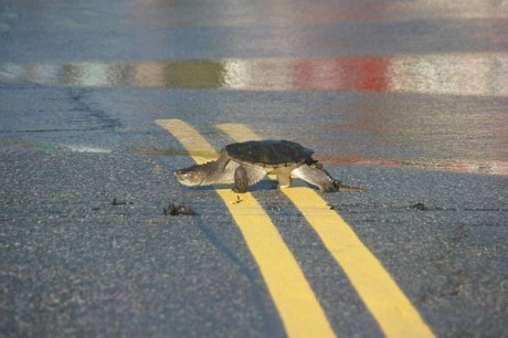 Turtle crossing near the flooded approach to the RT 22 bridge in Wadhams. Archive Irene flooding photo: Matt Foley