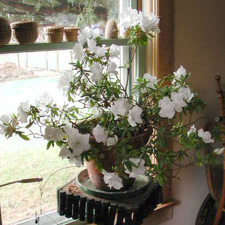 40-year-old azalea in full bloom for the holidays. Photo: Martha Foley