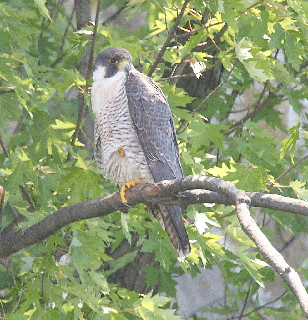 Vermont Audubon 49 Peregrine Falcon Pairs A Modern Record Ncpr News