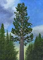 """Frankenpine"" (above) and ""The Tallest Tree"" by Peter Seward"