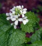 Close-up of Garlic Mustard flowers