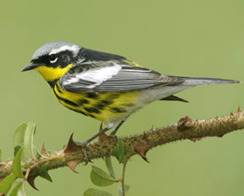 The Magnolia Warbler, one of the species of birds on the decline in the Adirondack region. Photo: Audubon Society