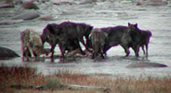 Wolves have helped strengthen several species of plants and animals in Yellowstone National Park. (Photo by Marlene Foard)