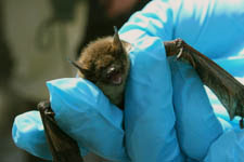 Bat mortalities are approaching 90% (File photo)