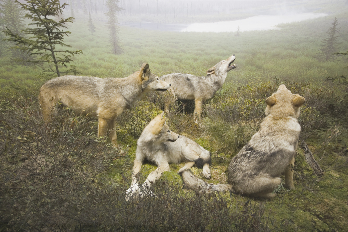 ontario ban cancels hunting season for wolves and coyotes ncpr news. Black Bedroom Furniture Sets. Home Design Ideas