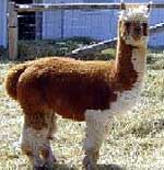 Euripides the alpaca