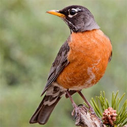 <em>Turdus migratorius</em>, the American Robin. Photo: Mgiganteus
