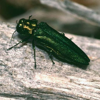 Emerald ash borer. Photo: Univ. of Kentucky