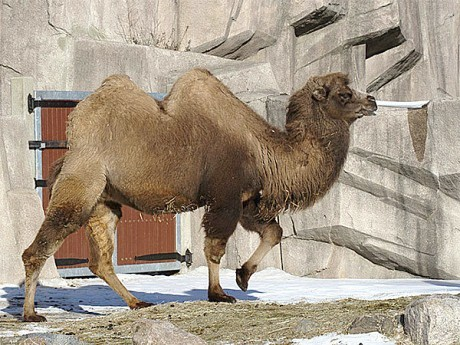 "Bactrian Camel. Photo: <a href=""http://www.flickr.com/people/53332339@N00"">Michael Pereckas</a>, CC <a href=""http://creativecommons.org/licenses/by/2.0/deed.en"">some rights reserved</a>"