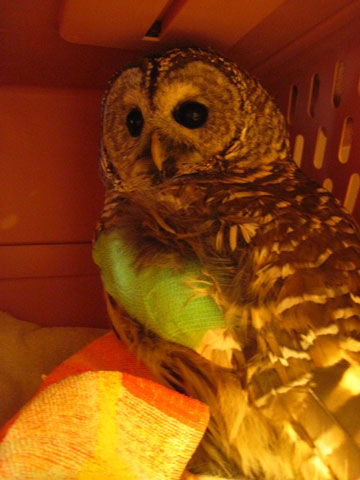A rehabilitating Barred Owl at the Vermont Institute of Natural Science