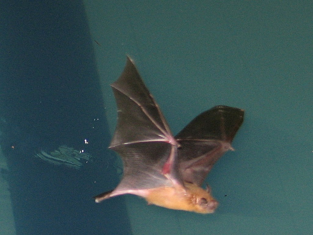 Why are bats so nimble in flight ncpr news bat skimming a pool photo andreas philipp creative commons some rights reserved biocorpaavc