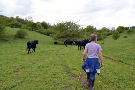 Eve Ann Shwartz herds her cattle on Maple Avenue Farms in Earlville, NY. Photo: Ryan Delaney