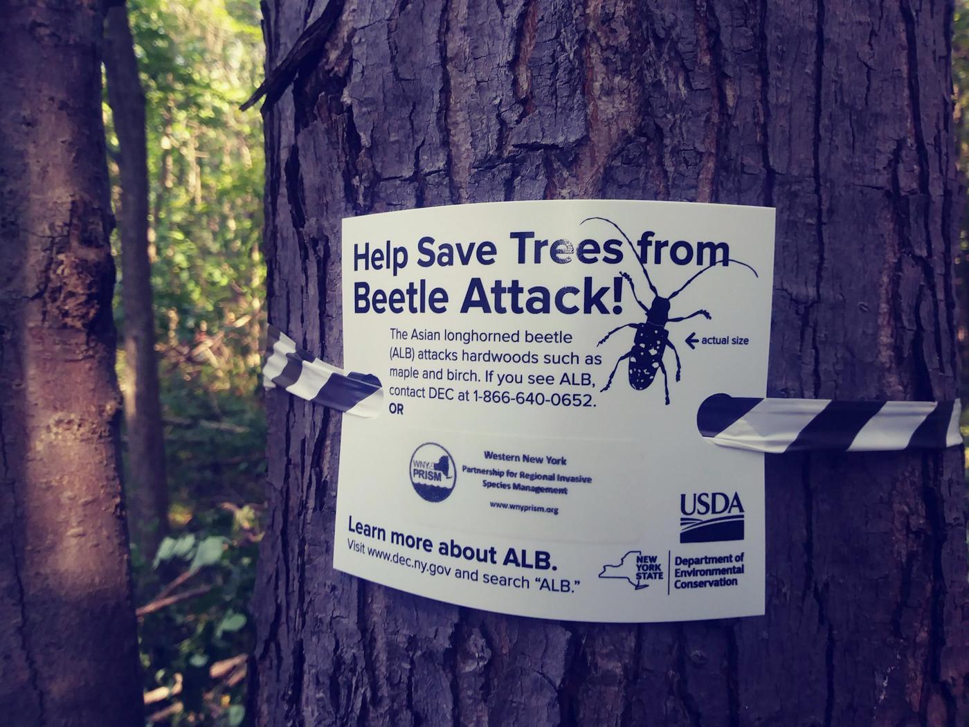 Asian longhorned beetle eat wood
