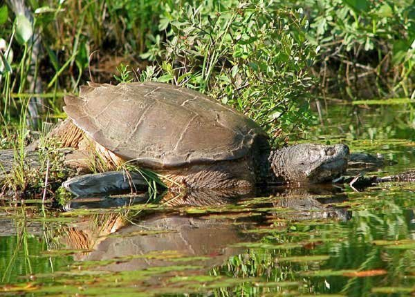 Snapping turtles: not your little pet shop friend | NCPR News