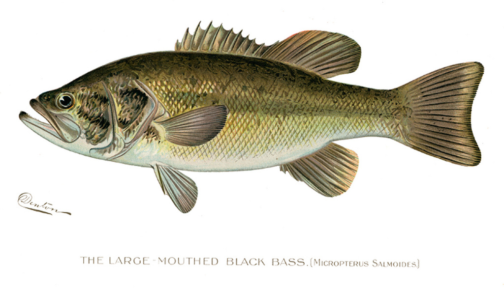 Ny fishing season open for walleye pike pickerel muskie for Nys dec fishing