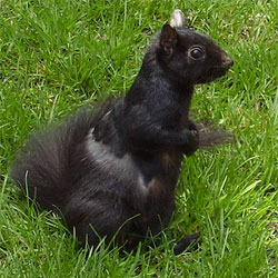"""Black"" Eastern Grey Squirrel in Toronto."