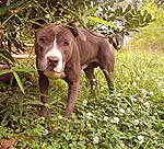 Blue nose pit bull. Source: Wikipedia