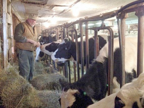 Bob Andrews feeds the heifers in his barn in Fowler. Photo by David Sommerstein.
