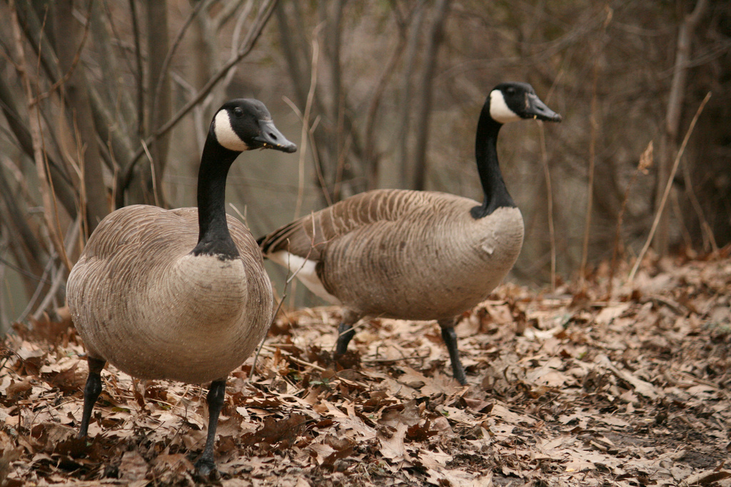 Canada Goose down outlet cheap - Canada goose hunting season underway in upstate New York | NCPR News