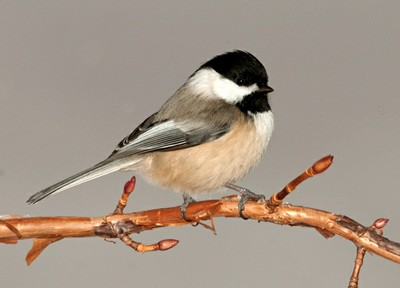 Black-capped Chickadee.  (photo: Jerry Acton)