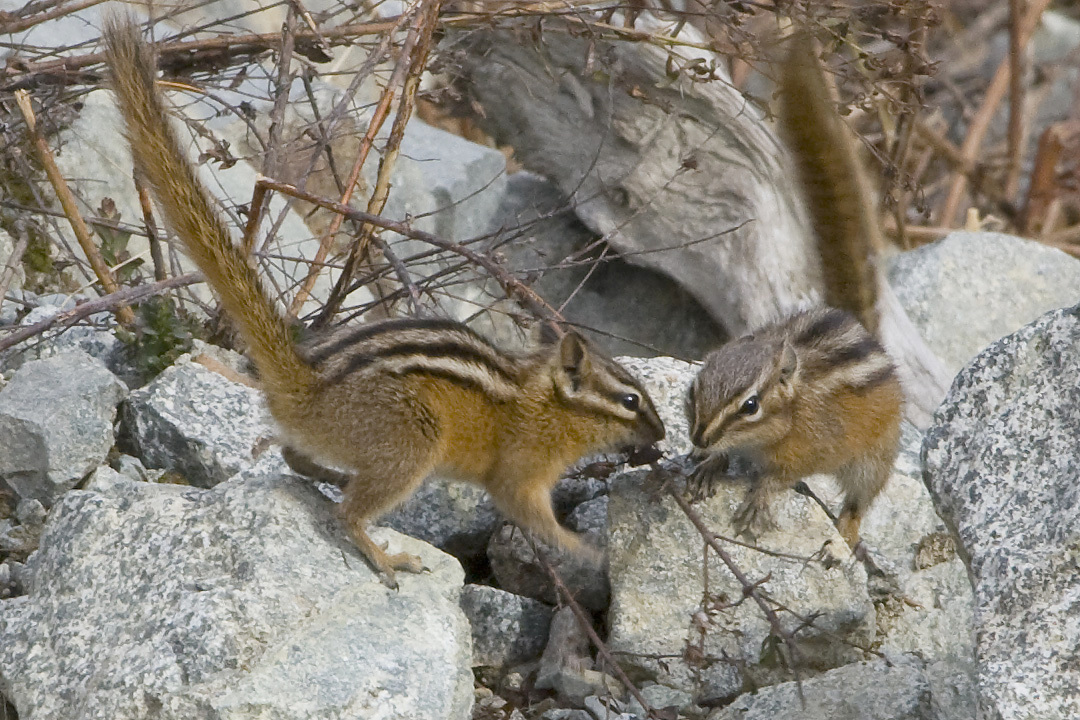 Decoding the language of chipmunks | NCPR News
