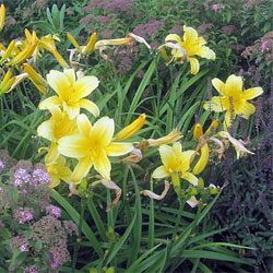 Daylilies can be safley divided and moved now. Photo: Billy Hathorn