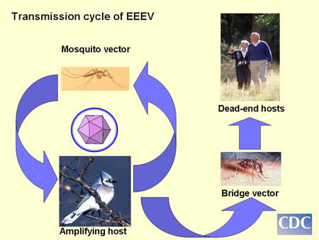 Transmission cycle of Eastern Equine Encephalitis