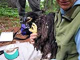 An 8 week old bald eagle. Samples of feathers and blood are taken to check the bird's health. (Photo by Bob Kelleher)