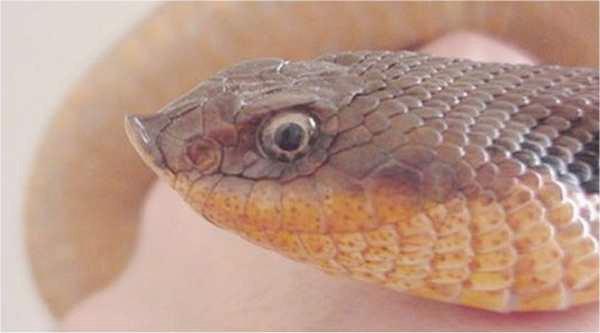 Our Mildly Venomous Neighbor The Hognose Snake Ncpr News