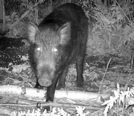 Image of: Fox Feral Swine In Peru Ny Photographed In September 2011 Photo Nys Dec When Domesticated Animals Return To The Wild Ncpr News
