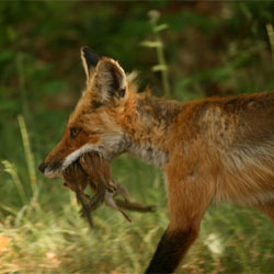 Fox bringing home dinner. Photo: Amy Cook, from Photo of the Day archive