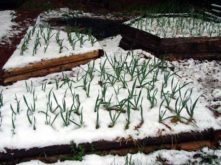 Garlic under the snow in Potsdam. Photo by Ed Clark.