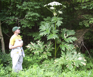 Giant Hogweed   Photo:  NYS DEC