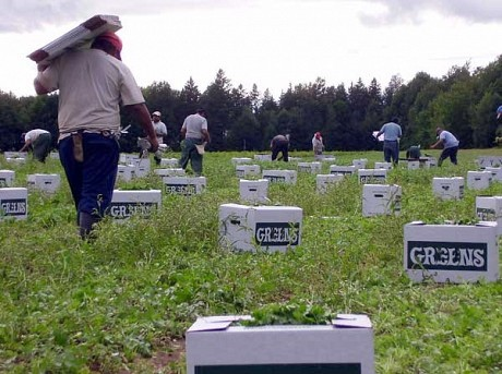 Childstock farms relies on immigrant labor, and the H2A program, to harvest its greens.