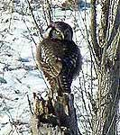 A Northern Hawk Owl spotted in Potsdam