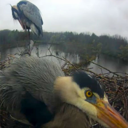 Still image from the heron webcam.