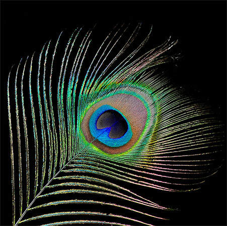 "The striking colors in this peacock feather come from irridescence, not pigments. Photo: <a href=""http://www.flickr.com/photos/9422878@N08/7557113322/"">Bill Gracey</a>, Creative Commons, some rights reserved"