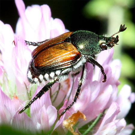 <em>Popillia japonica</em>, commonly known as the Japanese Beetle. Photo: Wikipedia Commons