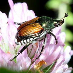 Japanese Beetle. Photo: Bruce Marlin via Wikipedia Commons.